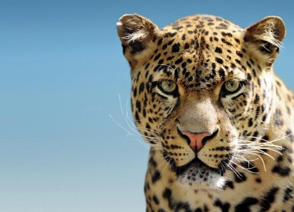 Leopard - silové zvíře.