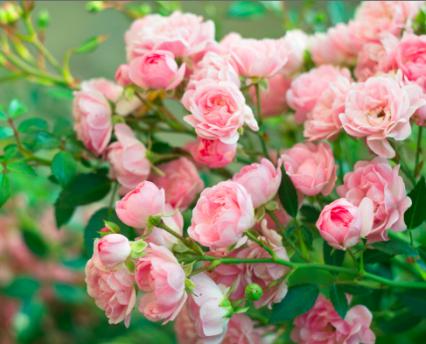 bulharská růže
